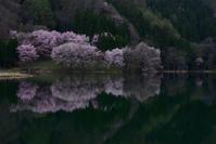 中綱湖の桜 - 人生とは旅なり