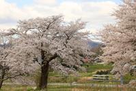 1150 桜とキハ 2 - 四季彩空間遠野