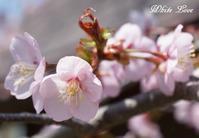 洞爺湖の桜 - White Love