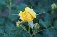 咲き始めていたバラの花☆神代植物公園 - さんじゃらっと☆blog2