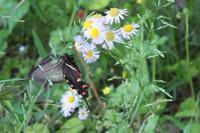 ■ ジャコウアゲハとアオスジアゲハ   17.5.11 - 舞岡公園の自然2