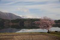 長野 大町市 青木湖の一本桜  - 日本あちこち撮り歩記