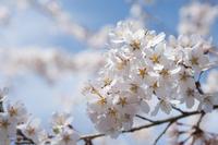 浜松市天竜区 桜  Apr. 2017  #006 - hama-take の blog