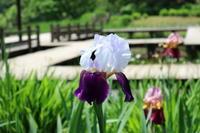 花写真「踊る花ジャーマンアイリス」 - 物書きkumaさんの創作日和