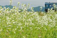大根の花 - 今日も丹後鉄道