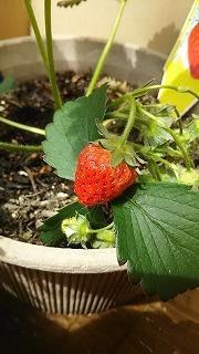 イチゴ初収穫 - ~ワンパク五歳児子育て中~