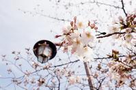 お花見2017 vol.2 ~七分咲きの桜@井の頭公園、台湾カフェでお茶「月和茶」 - 晴れた朝には 改