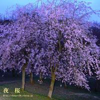 悠久山の夜桜 - the best shot Ⅳ