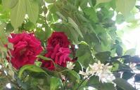 初夏の紅白歌合戦/小さき草花のまにまに 5 - 歌い手菅野千恵のaround me