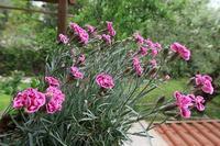 太陽へと咲くナデシコと米印象派・その庭を描く映画 - ペルージャ イタリア語・日本語教師 なおこのブログ - Fotoblog da Perugia