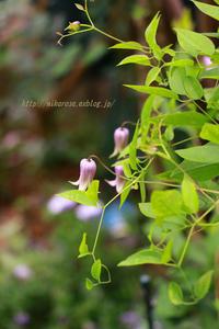 5月の庭 壷クレマチスと想像 - 季節の風を感じながら・・・