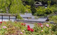 奈良・長谷寺~ぼたんまつり - 鏡花水月