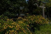 梨木神社の山吹 - 鏡花水月