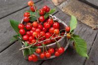 雨が降る前にサクランボを収穫してララに、、、(5月12日) - Reon&Roses+Lara