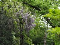 森観察 森の藤の花 - 鹿深の森