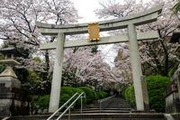 京都の桜2017 宗忠神社参道の桜 - 花景色-K.W.C. PhotoBlog
