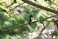 ムギマキ(Mugimaki Flycatcher)/2017.05 - Birding