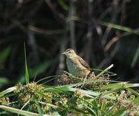 田園にて・・・ - cuccooの野鳥エトセトラ