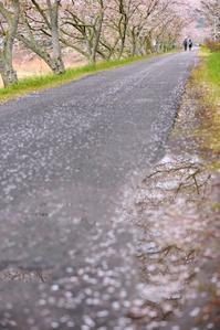 雨上がりの桜道 - 片眼を閉じて見る世界には・・・。