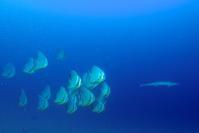 ツバメウオとコバンザメ 奄美南部,瀬戸内町ダイビング - 奄美大島 ダイビングライフ    ☆アクアダイブコホロ☆