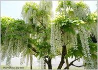 花公園の藤の花 - 野鳥の素顔 <野鳥と・・・他、日々の出来事>