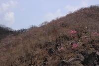 赤城山のアカヤシオ (撮影日:2017/5/12) - toshiさんの気まぐれフォトブログ