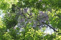 ■ 藤の花   17.5.12 - 舞岡公園の自然2