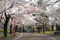桜満開☆彡 - DAIGOの記憶