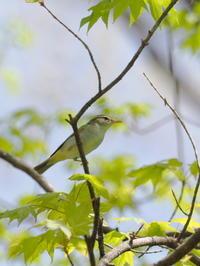 センダイムシクイの囀りが - コーヒー党の野鳥と自然 パート2
