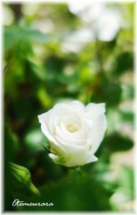 薔薇の蕾 & English Lesson 5.12 - 日々楽しく ♪mon bonheur