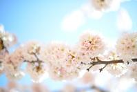 新しい私はじまる… new start 圧倒的桜。2017 - Imagine