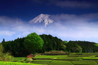 29年5月の富士(3)茶畑と富士2 - 富士への散歩道 ~撮影記~