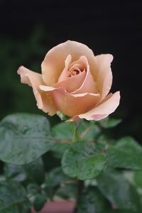 大好きなバラ「カフェラテ」 - お散歩日和ときどきお昼寝