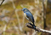 ・ルリビタキ - 鳥見撮り
