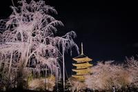 東寺 桜つぼみ ライトアップ - ふくろほーのつぶやき