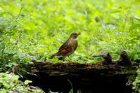 まだ居ます、アカハラ - 私の鳥撮り散歩