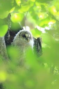 フクロウ 雛の巣立ち - 気まぐれ野鳥写真