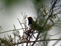 クロツグミ証拠写真 - 今日の鳥さん+α(初心者野鳥写真集)