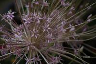 花火のように - CHIROのお庭しごと