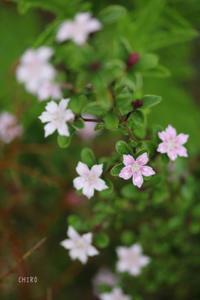 つぼみの色、花の色 - CHIROのお庭しごと