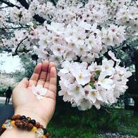 皆さまよりのメール〜T様 桜のプレゼントありがとうございました〜 - バリ島シドゥメン村田舎暮らし 手織りの布ソンケット