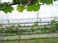 ひねくれた新梢 レーズン酵母 - 葡萄と田舎時間