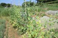"""豆の収穫は..終盤です。 - 〔家庭菜園日記〕 """"すろーらいふ"""" 茅ケ崎のはまちゃん. 野菜つくり"""