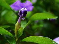 5.13 LG庭 匂番茉莉(ニオイバンマツリ)咲いた なので - LGの散歩写真