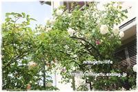 庭のバラ - nithigetu-life