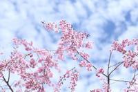 桜と新芽 - HAPPY to ...