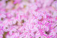 Primula - Une fleur