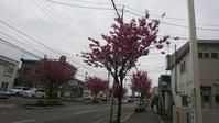 函館学園通りの八重桜、満開 - 工房アンシャンテルール就労継続支援B型事業所(旧いか型たい焼き)セラピア函館代表ブログ