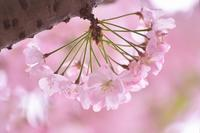 圧倒的桜。2017 - ハッピーハッピー