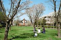 自宅周辺の桜をまとめて掲載 - 照片画廊